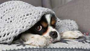 Chien Froid